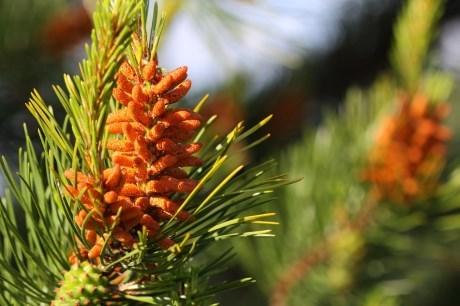 blossom_branch_brown_cone_conifer_fir_flower_foliage-1159573.jpg