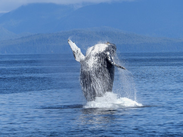 humpback-whale-natural-spectacle-nature-mammal-51964